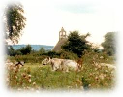 Christ Church's Longhorn cattle