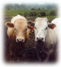 Friesian Charolais calves