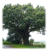 Image of King Charles Oak